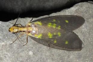 ヘビトンボ | 昆虫図鑑